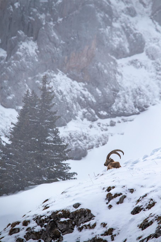 Repos - Bouquetin des alpes